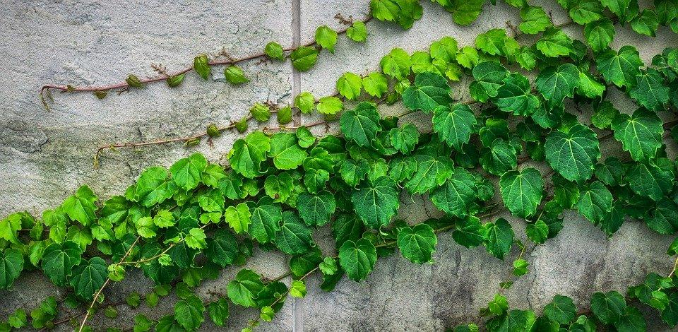 břečťan na zdi